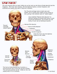 Excellent breakdown of neck muscles and how and where they're attached between the body and head.