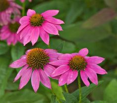 "Echinacea ""PowWow Wildberry""  A compact (20"") Coneflower, perhaps  better suited to our rocky garden."