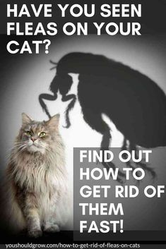 Cat Care Remedies Have you seen fleas on your cat? Find out how to get rid of them fast! Text overlaying image of grey long-haired cat with a large shadow of a flea looming over it. Fleas On Kittens, Cat Has Fleas, Cats And Kittens, Siamese Cats, Home Remedies For Fleas, Flea Remedies, Cat Care Tips, Pet Care, Flea Spray