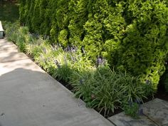 Liriope fills a narrow space to frame an existing walkway.
