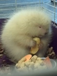 A rescued fluffy, baby albino porcupine enjoying an apple slice...