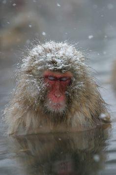 Did this today! Snow Japan - The Snow Monkeys of Jigokudani Yaenkoen (Hell's Valley), Joshinetsu, Nagano, Japan