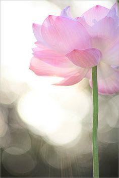 Delicate pink petals