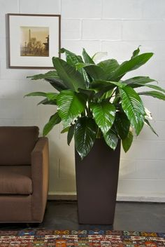 Houston's online indoor plant & pot store - Large Spath Sensation, Closet Plant, Peace Lily. So pretty. Just the PerFECT plant pot for a peace lily. Hell yea! Yessssss pleeeaasseeee :)
