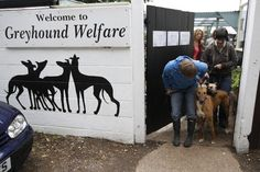 Volunteers coax retired racing dogs through a door to take them for a walk in the grounds surrounding Wimbledon Greyhound Welfare in Hersham, Surrey May 22, 2011.    REUTERS/Chris Helgren