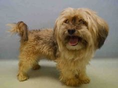 Manhattan Center SPITZ – A1062001  MALE, TAN / BROWN, LHASA APSO, 7 yrs STRAY – STRAY WAIT, NO HOLD Reason STRAY Intake condition EXAM REQ Intake Date 01/02/2016, From NY 10465, DueOut Date 01/05/2016, Urgent Pets on Death Row, Inc