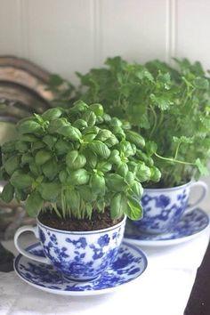 growing herbs in tea cups <3