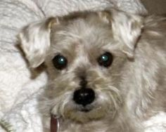 Willow is an adoptable Yorkshire Terrier Yorkie Dog in Tulsa, OK. Willow's current foster location: Tulsa, Oklahoma   Willow is approximately 11 years old. We think she is a Yorke Mix, but we are not ...