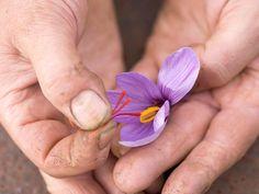 A complete guide to saffron bulbs | lovethegarden Saffron Plant, Saffron Crocus, Growing Saffron, Crocus Bulbs, Sandy Soil, Replant, Garden Types, Organic Matter, Types Of Soil