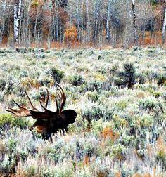 Bull moose at Grand Teton Nat'l Park.  Love the colors of autumn.  Photograph by Stephanie Faison Stewart.