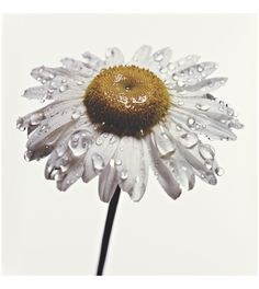 Daisy with Water Drops, New York, 1968-69 Irving Penn