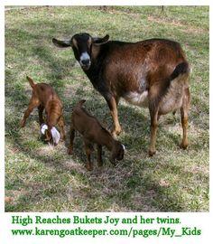 Joy is an Alpine/Nubian cross. The white ears belong to a buck. The brown ears belong to a doe.