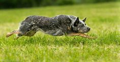 Australian Cattle Dog in action, just awesome! Aussie Cattle Dog, Austrailian Cattle Dog, Aussie Dogs, Cattle Dogs, Saarloos, Herding Dogs, Dog Activities, Dogs And Puppies, Doggies