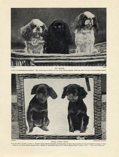 English TOY King Charles Spaniel Dogs AND Puppies OLD Original 1934 DOG Print | eBay