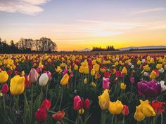 This morning @tberolz sent me this shot of the sunrise over the tulips in Oregon. Now I'm convincing him we need to go back together. Stat.  #picsfrommylove #tulipfields #oregon #willjourney #imnotthere #butheis by juliahengel