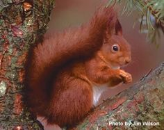 The exquisite Red Squirrel: UK - desperately endangered by their grey cousins.  Google Search