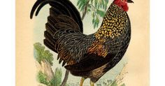 rooster graphicsfairy.pdf