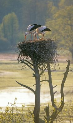 Ciconias are large Storks. They are gregarious, live in colonies, and mate for life. If one of the pair dies or is killed, the other stays solitary and sleeps in the partners spot in their huge, high up nests.