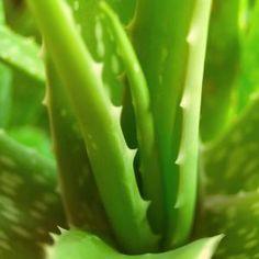 Aloe & petits maux quotidiens Aloe vera & propriétés médicinales Comment obtenir du gel d'Aloe vera maison? Aloe & petits maux quotidiens Il est possible de faire pousser de l'aloe vera, et alors de récolter le gel d'aloès pour en faire un usage maison, et ainsi bénéficier de ses nombreuses propriétés; le tout étant de […]