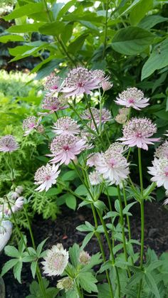 Astrantia blooms at Mourning Dove Garden