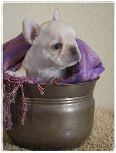 Baby Frenchie, French Bulldog Puppy