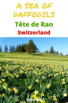 WIld daffodils hike in Tête de Ran Switzerland Spring walk Hiking with kids Hiking With Kids, Go Hiking, Hiking Trails, Places In Switzerland, Visit Switzerland, Wild Flower Meadow, Wild Flowers, Positano, Amalfi
