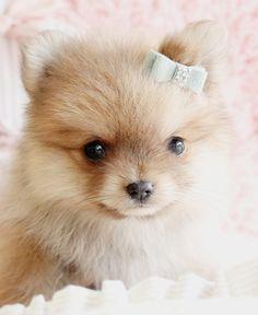 Beautiful Pomeranian Puppy x ⭐ MY BLOG: www.ditatime.weebly.com  ⭐ FB: www.facebook.com/DitaTime