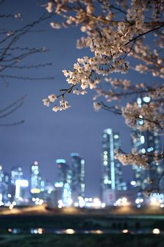 Cherry Blossoms in Seoul - South Korea