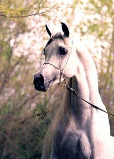 Beautiful Arabian Horses Just look at those eyes...
