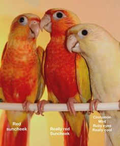 prices of The Feather Tree Cute Birds, Pretty Birds, Beautiful Birds, Feather Tree, Bird Feathers, Rare Animals, Cute Baby Animals, Pineapple Conure, Timneh African Grey