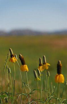Badlands South Dakota, Prairie Flowers