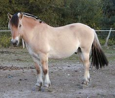 "Norweigian Fjords are considered to be ""Light Draft"" horses."
