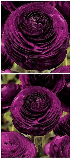 Purple Persian Buttercups ♥ #gardening #flowers #plants