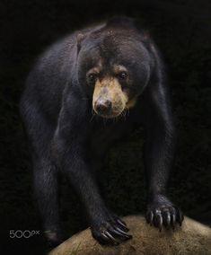 Malayan Sun Bear by Irawan Subingar / 500px