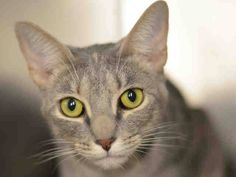 PULLED BY FELINE RESCUE OF STATEN ISLAND - NYC TO BE DESTROYED 02/25/15 CLOUDY Lived with 6 kids 4yrs-19 Has lived with 2 dogs chihuahuas friendly, Loves to play Enjoys Petting.ID #A1028476. Female gray tabby & tortie about 2 YEARS OWN SUR. TOO MANY P.