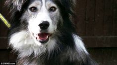 Rescue dog Dennis, a three-year-old Collie, was given to the Dogs Trust branch in Kenilworth, Warwickshire, a month ago after his owner was no longer able to care for him. He has since been unable to find new owners