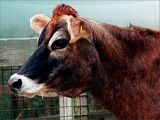 JERSEY COW....  Jersey cows are famous for the high butterfat content of their milk and high milk production. They were originally bred on Jersey, one of the Channel Islands off the northwest coast of France.