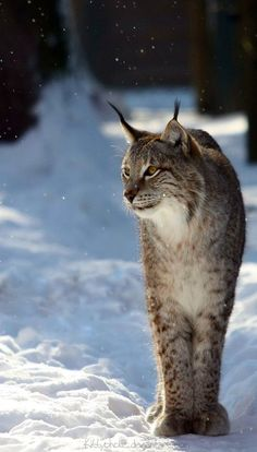 * * LYNX USUALLY LOOK LIKE THEY'RE SMILING WHICH MAKES THEM APPEALING.