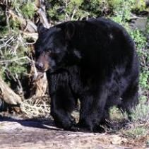 A black bear, which survives winter in a state called torpor Photo courtesy Utah Division of Wildlife Resources, Copyright Lynn Chamberlain Bear Hunting, Hunting Tips, Be The Creature, Wolf Creek, Love Bear, Animals Images, Wild Animals, Huckleberry, Black Bear