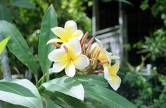 Frangipani flowers at Pine and Pearl Streets: Key West, Florida by State Library and Archives of Florida, via Flickr