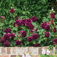 Munstead Wood- highly fragrant David Austin shrub rose with velvety crimson blooms