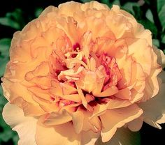 Song Sparrow Farm and Nursery: Tree Peonies 'Golden Mandarin' Tree Peony, Peony Flower, Garden Plants, Flower Gardening, Song Sparrow, Most Beautiful Flowers, Peach Blossoms, Cold Porcelain, Poppies