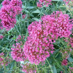 Spornblume (Centranthus ruber)