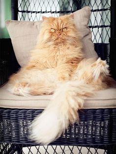 garfi, grumpy persian cat