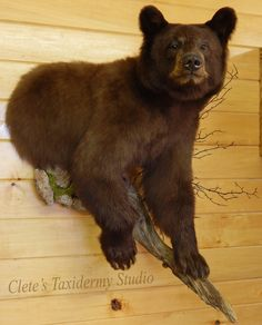 #black #bear #mount #taxidermy