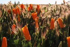The Stumbleweeds ( Antelope Valley Poppy Reserve, Poppies, Channel, Public, Facebook, Photo And Video, Check, Youtube, Instagram