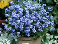 How to Grow and Care for Forget-Me-Not Plants - See more at: http://worldoffloweringplants.com/grow-care-forget-me-not-plants