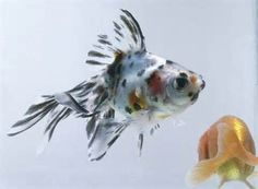 Calico Fantail Goldfish - Bing images