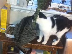 Cat Struggles to Get Past Friend   Watch the video - Yahoo Screen