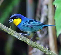 Purplish-mantled Tanager, Irido-sornis porphyrocephalus: Pacific slopes of the Andes - CO/ EC. Birds of the World